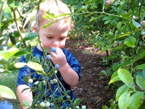 blue berry picking